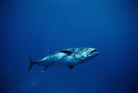 Dogtooth Tuna Mauritius-min