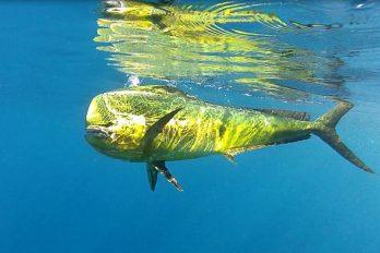 Dorado-underwater-Mauritius-min