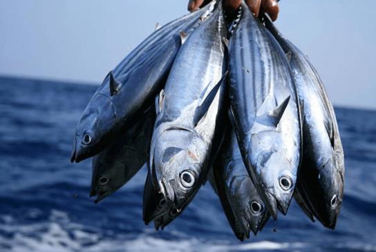 Skipjack Tuna Mauritius-min