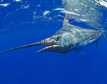 blue-marlin-underwater-mauritius
